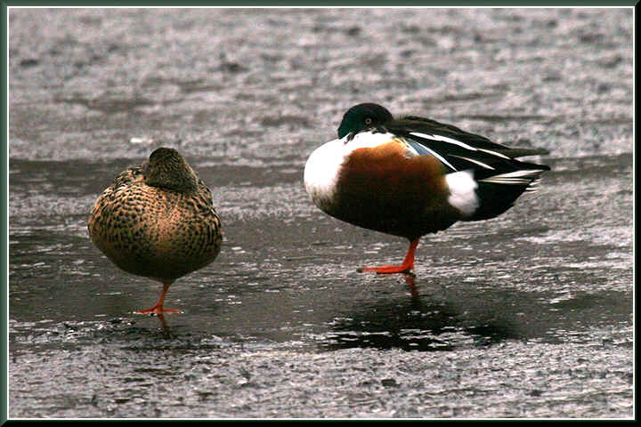 Pair of very cold Shoveler Ducks