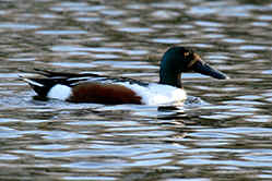 Male Shoveler Duck