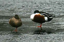Shoveler Ducks, male & female