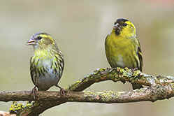 Female & Male Siskin