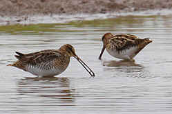 Snipe at Venus Pool