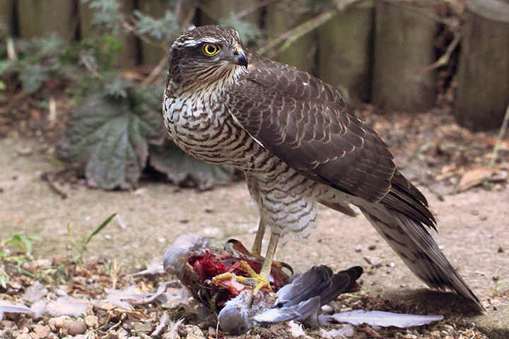 Sparrowhawk with prey,Collared Dove