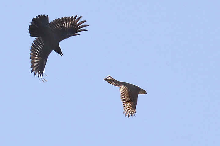 Sparrowhawk being harresed by a crow