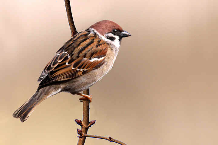 Tree Sparrow at Venus Pool
