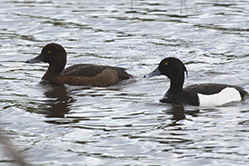 Pair of Tufted Duck at Venus Pool