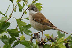Male Whitethroat