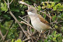 Female Whitethroat