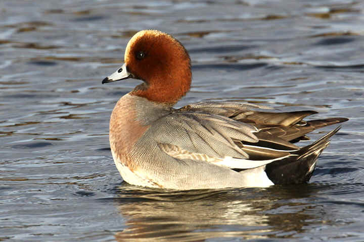 Wigeon at Venus Pool