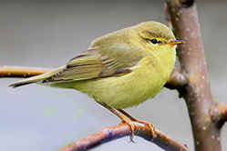 Willow Warble