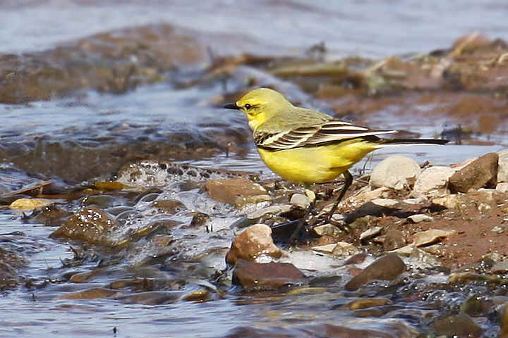 Yellow Wagtail at Venus Pool