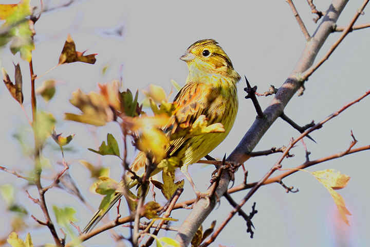 Male Yellowhammer