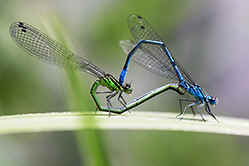 Female & male Azure Damselflies