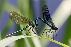 Female and male Banded demoiselles