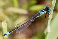 Male Blue-tailed damselfly