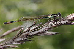 Teneral or newly emerged female Blue-tailed damselfly