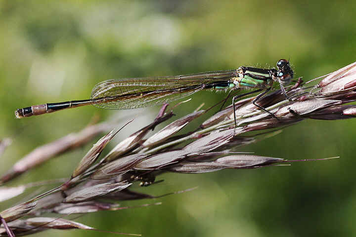 Teneral female Blue-tailed damselfly