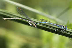 White-legged damselflies, female & male